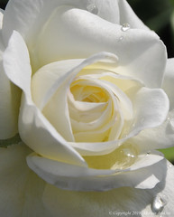 Smile on Saturday (cotton.candy581) Tags: hsos roseisarose rose white droplet