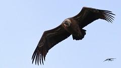 grifone (Gyps fulvus) (Tonpiga) Tags: tonpiga uccelliinlibertà faunaselvatica gypsfulvus grifonesardo avvoltoio