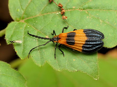 Wavy-winged Lycid & Friend (treegrow) Tags: rockcreekpark washingtondc nature lifeonearth raynoxdcr250 arthropoda insect calopteronterminale coleoptera beetle lycidae