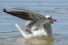 """""""Pas de photos s'il vous plait"""" (leguen.maxime) Tags: mouette rieuse rivière fleuve loire loiret 2019 animal oiseau nature hiver eau aile mer"""