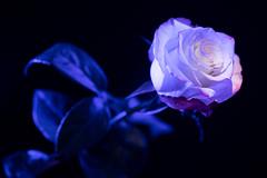 still-life 19-02-2019 005 (swissnature3) Tags: stilllife macro flowers light rose
