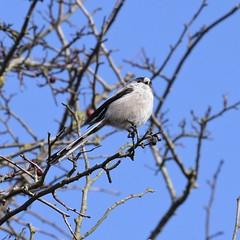 Long-tailed Tit #3 (MJ Harbey) Tags: tree bird branches longtailedtit longtailedbushtit animalia aves passeriformes aegithalidae aegithaloscaudatus miltonkeynes buckinghamshire nikon d3300 nikond3300