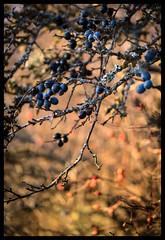 Blackthorn Berry (Eklandet) Tags: blackthorn naturephotography prunus sloe spinosa nature sverige sweden samsung sky scandinavia nordic countries landscape fineartphotography landscapephotography naturelover berry