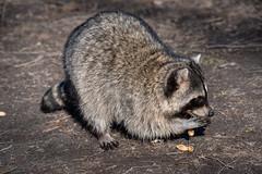 Raccoon (_K1_6001) (Ross G. Strachan Photography) Tags: britishcolumbia canada lostlagoon stanleypark vancouver animals heron raccoon wildlife ca