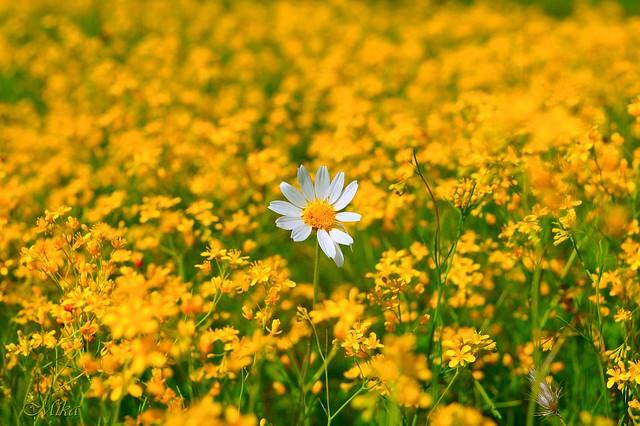 Обои Ромашка, Цветочки, Flowers, Цветение, Camomile, Flowering картинки на рабочий стол, раздел цветы - скачать