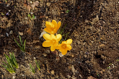 De retour à la vie - Back to life (p.franche buzy - occupé) Tags: fleur flower macro nature bokeh sony sonyalpha65 dxo photolab bruxelles brussel brussels belgium belgique belgïe europe pfranche pascalfranche schaerbeek schaarbeek blume 花 blomst flor פרח virág bunga bláth blóm bloem kwiat цветок kvetina blomma květina ดอกไม้ hoa زهرة jaune crocus hiver jardin étamines pistil pollen pétales feuilles vert yellow winter garden stamens petals leaves green