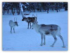 d'autres amis du grand nord ! (Save planet Earth !) Tags: laponie finland rennes animal nikon amcc