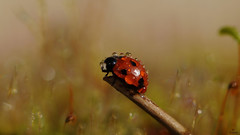Wet Lady Bug.... (Piet photography) Tags: macro ladybug wet droplets dewdrops reflections liefheersbeestje aoi elitegalleryaoi bestcapturesaoi