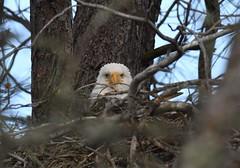 Lake Natoma Eagles (larryvenus) Tags: baldeagles eagles lakenatomaeagles birdsofprey sacramentocountyeagles folsomlake folsomlakeeagles nikon nikond500 nikonphotography tamron tamronphotography tamron150600g2