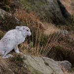 Mountain Hare thumbnail