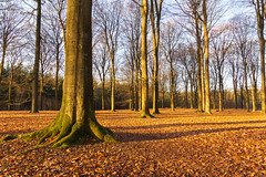 Forest full of leaves (jan.vd.wolf) Tags: leusden utrecht nederland nl leaves bladeren bos wood wald tree bomen arbre desarbres boom forêt landschap landscape nauur nature bosque arbol arboles