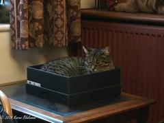 Time for a post Christmas dinner nap (karenblakeman) Tags: cat tabby willowmeowmau box 2018 december uk