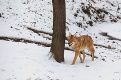 Winter Coyote (Chris Mahoney - AACStudio) Tags: hanna illinois nature walk animal city coyote park prairie snow tree wildlife winter