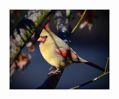 The Breath of Light Awakens Color (George McHenry Photography) Tags: birds songbirds cardinal northerncardinal southcarolinabirds southcarolina