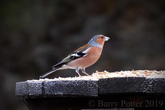 Chaffinch (Barry Potter (EdenMedia)) Tags: barrypotter edenmedia nikon d7200 birds chaffinch