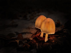 mushrooms (monicaclick) Tags: mycena glowing mushroom nature mystical whimsical magic fairytale light night snow winter phenomenon sporeprint cap stem bonnet luminescence bioluminescent luminous radiant orange lightemitting dark forrest magical
