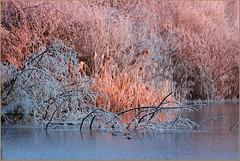 Winter am See (der bischheimer) Tags: winter schilf teich eis canon derbischheimer