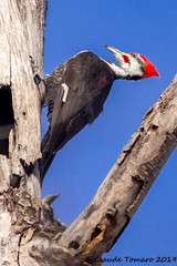 Pileated Woodpecker at Jack Pine Trail (Claude Tomaro) Tags: jackpine trail winter claude tomaro ottawa ontario canada bird
