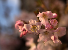 Blossom time Tooting! (#Dave Roberts#) Tags: tooting lonkon uk england spring march blossom flower cherry prunus apple street urban nature 50mm olympus bokeh depth field