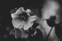 Belle 1 ... (Julie Greg) Tags: flower nature nautre bw park details canon monochrome