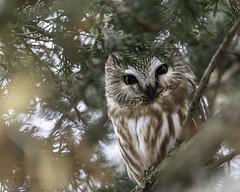 Northern Saw-whet Owl (T L Sepkovic) Tags: northernsawwhetowl sawwhet owl sawwhetowl raptor birdsofprey canon 5dmkiv wildlife wildlifephotography teamcanon lenscoat promediagear
