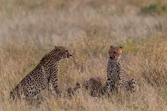 Mother stays alert, while cubs feast (Hector16) Tags: africa matthewsmountains kenya samburuculture samburunationalpark sarara samburu easternprovince ke