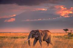 Young Bull (Nedko Nedkov) Tags: africa amboseli kenia oltukai wildlife elephant kilimanjaro