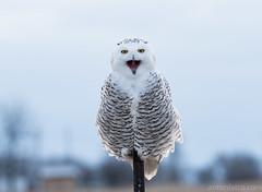 Grumpy Snowy Owl (antonfalco2) Tags: owl owls bird birds raptor raptors wildlife birdsofprey nature landscape sunset ontario forest tree trees art light green canada hike animal snowyowl
