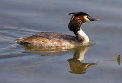 Great Crested Grebe (wayne.withers1970) Tags: small large pretty bird wings color colorful nature natural colour colourful wild wildlife england flickr dof naturephotography country countryside outside outdoors alive fauna swimming canon sigma light black white blue red brown orange lake river feathers water wader waterfowl fine dark animal reflection ripples grebe rutland leicestershire spring summer greatcrestedgrebe