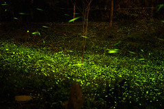 綠色銀河 (ibgsaker) Tags: taiwan summer april green firefly night