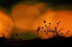 A beautiful sunset that was mistaken for a dawn. Claude Debussy (genevieve van doren) Tags: cosmos flowers fleurs light lumière