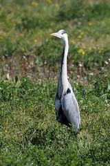 héron cendré (gimbellet) Tags: canon nikon animals animaux animal oiseaux oiseau birds bird extérieur france french faune nature