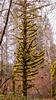 Still Standing (ausmc_1) Tags: tamronsp2470mmf28usddivc january tree d800 stillife moss canada 2019 britishcolumbia lichen vancouverisland