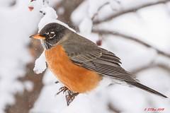 215 red robin (starc283) Tags: starc283 wildlife flickr flicker forest canon 7d bird birding birds red robin american outdoors outdoor nature natures finest watcher americanredrobin