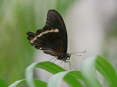 Elegant butterfly (da.da13) Tags: butterfly insect nature detail panasonic lumix dmcg80 olympus mzuiko ed 60mm f28 macro micro four third