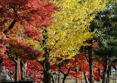Autumn scenery of Kyoto, Japan (phuong.sg@gmail.com) Tags: autumn autumnal background beautiful beauty bright color colorful colour dawn fall fog foliage forest golden japan korakuen landscape leaves light maple morning natural nature old orange outdoor outside park rays red scene scenery scenics season sun sunbeams sunlight sunny sunrays sunrise trees vibrant vivid weather woods yellow zen