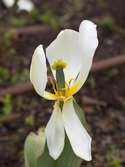 Ripped Tulip-3 (zeevveez) Tags: זאבברקן zeevveez zeevbarkan canon broken tulip wind strange random