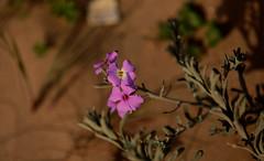 Florecillas de las duna de la playa.- (angelalonso57) Tags: canon eos 6d 70200mm f28 dg os hsm | sports 018 ƒ40 1900 mm 14000 200 flowers captured flores shot capture