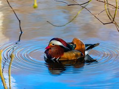 Ripple Effect (CJD imagery) Tags: canonef70200mmf28lisiiiusm canoneos80d outdoors spring wildlifephotography wildlife naturephotography nature mandarinduck male duck mandarin london richmonduponthames richmondpark isabellaplantation england gb greatbritain uk unitedkingdom
