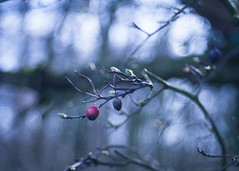 The Beginning (ursulamller900) Tags: trioplan2950 bokeh berries beeren red blue zweige branches