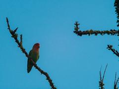 P1022563 (Claussm) Tags: vsco jupiter soviet russian 21m lens lumix telephoto arizona bird lovebird az sky