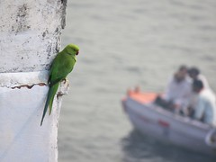 varanasi 2019 (gerben more) Tags: parakeet ganges varanasi benares ganga boat bird
