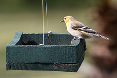 American Goldfinch (M. Coppola) Tags: pasco egretglade florida americangoldfinch spinustristis male nonbreeding