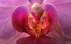 Orchid Detail (arbyreed) Tags: arbyreed flower orchid orchiddetail close closeup flowermacro pink
