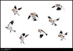 Les acrobates du Cirque des neiges (Sébastien Dionne photographe) Tags: plectrophanedesneiges plectrophane oiseaux oiseau bird birds cacouna canon canon5dmarkiv canon5dmkiv 5dmarkiv 5dmkiv 150600mm 150600 sigma sigma150600 sigma150600dgoshsmsport sigma150600s vole fly bassaintlaurent