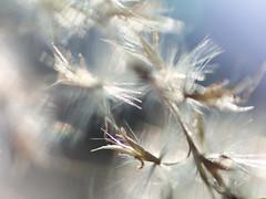 Fuzzy Plant (Tomo M) Tags: picktwo macromondays pampasgrass 屋久島すすき すすき plant bokeh blur light miscanthussinensis macro windy 昭和記念公園