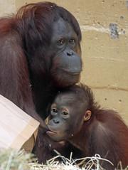 orangutan Juwel and Sabbar Ouwehands 094A0201 (j.a.kok) Tags: orangutan orang orangoetan animal aap ape asia azie mammal monkey mensaap primate primaat zoogdier dier sabbar ouwehands moederenkind motherandchild juwel