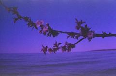 Flower Branch, Lake Ontario (Connor Simon) Tags: canon a1 fuji scan color