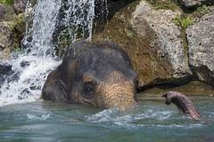 Elephant wellness (Tambako the Jaguar) Tags: elephant asian asiatic pachyderm female cow portrait trunk water bath bathing welness waterfall rock stone munich münchen hellabrunn zoo germany nikon d5