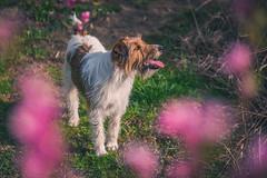 2019-04-03_udvar_06 (vond.one) Tags: vond g80 g85 panasonic lumix természet nature állat animal kutya dog szín színek színes color colour colours colors